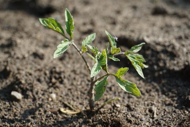 seedling-tomato-3381130_640